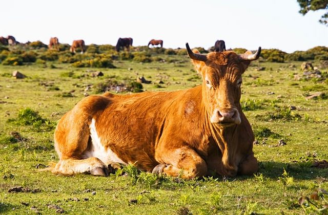 Brown cow lying in a fiel