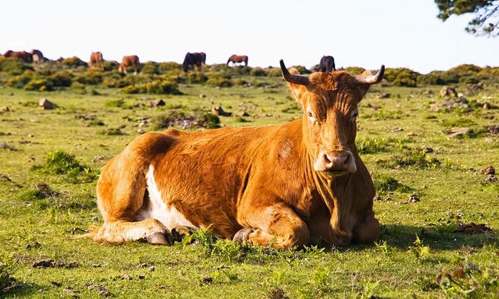 Brown cow lying in a fiel